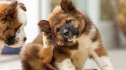 cómo tratar perros con alergias de piel